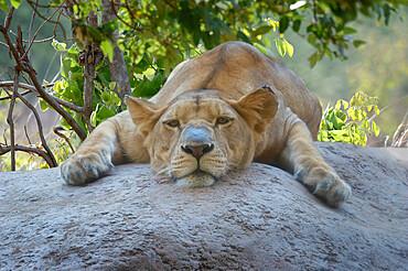 Female Angolan Lion (Panthera leo melanochaita), Angola, Africa