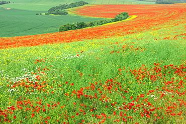 Red Poppies field, Cote d'Opale, Region Nord-Pas de Calais, France
