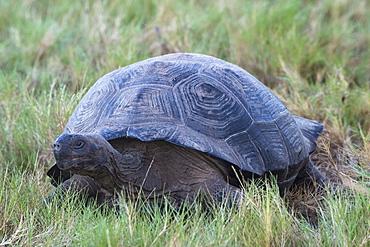 Galapagos Giant Tortoise (Geochelone elephantophus vandenburgi), Bahia Urvina, Isabela Island, Galapagos, UNESCO World Heritage Site, Ecuador, South America
