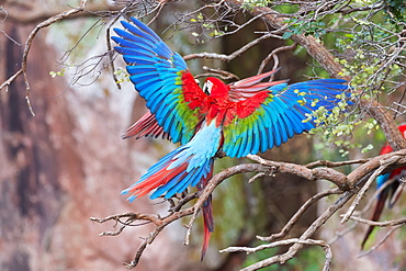 Playful red-and-green macaws (Ara chloropterus), Buraco das Araras, Mato Grosso do Sul, Brazil, South America