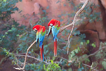 Red-and-green macaws (Ara chloropterus) perched on a branch in Buraco das Araras, Mato Grosso do Sul, Brazil, South America