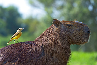 Capybara (Hydrochaeris hydrochaeris) and white-throated kingbird (Tyrannus albogularis) on the back, Pantanal, Mato Grosso, Brazil, South America