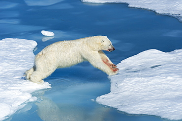 Male polar bear (Ursus maritimus) with blood on his nose and leg jumping over ice floes and blue water, Spitsbergen Island, Svalbard Archipelago, Arcitc, Norway, Scandinavia, Europe
