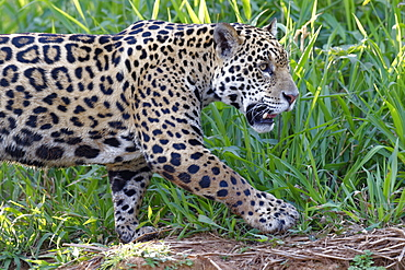 Young Jaguar (Panthera onca) on a riverbank, Cuiaba river, Pantanal, Mato Grosso, Brazil, South America