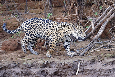 Young Jaguar (Panthera onca) walking on a riverbank, Cuiaba River, Pantanal, Mato Grosso, Brazil, South America