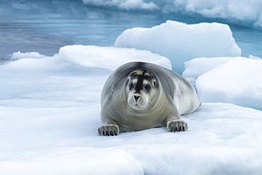 Bearded Seal (Erignathus barbatus) laying on pack ice, Spitsbergen Island, Svalbard Archipelago, Arctic, Norway, Scandinavia, Europe