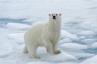 Female Polar bear (Ursus maritimus) walking on pack ice, Svalbard Archipelago, Barents Sea, Arctic, Norway, Scandinavia, Europe