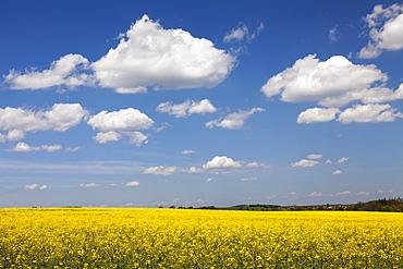 Cumulus clouds over a rape field, Swabian Alb, Baden Wurttemberg, Germany, Europe