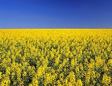 Rape field in spring, Tubingen, Baden Wurttemberg, Germany, Europe