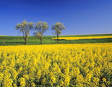 Fruit tree blossom and rape field in spring, Tubingen, Baden Wurttemberg, Germany, Europe