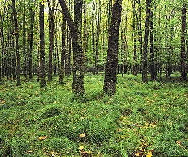 Forest in nature park Schonbuch, Tubingen, Baden Wurttemberg, Germany, Europe