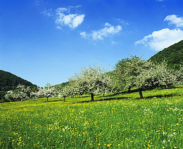 Blooming fruit trees on a flower meadow, Lenninger Tal, Swabian Alb, Baden Wurttemberg, Germany, Europe