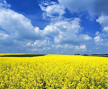 Rape field, Swabian Alb, Baden Wurttemberg, Germany, Europe