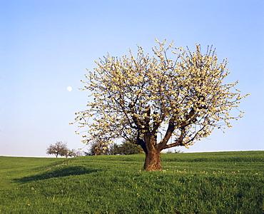 Full moon over a blooming fruit tree, Swabian Alb, Baden Wurttemberg, Germany, Europe