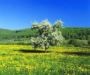 Blooming fruit tree on a flower meadow, Neidlinger Tal Valley, Swabian Alb, Baden Wurttemberg, Germany, Europe