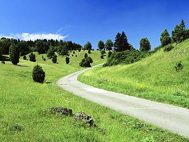 Juniper, Nature Reserve Zwing, Neresheim, Swabian Alb, Baden Wurttemberg, Germany, Europe