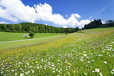 Spring meadow with marguerite flowers (Leucanthemum vulgare), Swabian Alb, Baden Wurttemberg, Germany, Europe