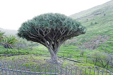Dragon tree (Drago de Agalan) (Dracaena draco), near Alajero, La Gomera, Canary Islands, Spain, Europe