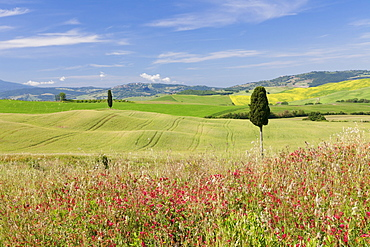 Tuscan landscape with cypress tree, near Pienza, Val d'Orcia (Orcia Valley), UNESCO World Heritage Site, Siena Province, Tuscany, Italy, Europe