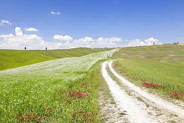 Path through Tuscan landscape. near San Quirico, Val d'Orcia (Orcia Valley), UNESCO World Heritage Site, Siena Province, Tuscany, Italy, Europe