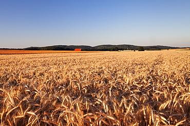 Cornfield in summer, Swabian Alps, Baden-Wurttemberg, Germany, Europe