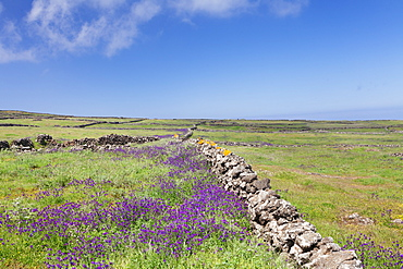 Meadow of flowers and stone wall, UNESCO biosphere reserve, El Hierro, Canary Islands, Spain, Europe