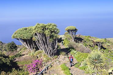 Hiking path and Canarian dragon tree (Dracaena draco), Las Tricias, La Palma, Canary Islands, Spain, Atlantic, Europe