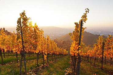 Vineyards in autumn at sunset, Stuttgart, Baden-Wurttemberg, Germany, Europe