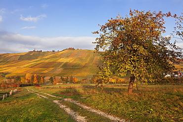 Vineyards in autumn, Weinstadt, Rems Murr District, Baden-Wurttemberg, Germany, Europe