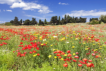 Meadow with wildflowers, near Otranto, Lecce province, Salentine Peninsula, Puglia, Italy, Europe