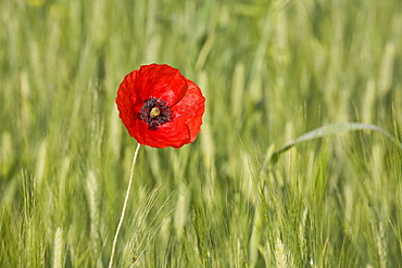 Single poppy in a grainfield, Val d'Orcia, Province Siena, Tuscany, Italy, Europe
