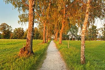 Tree alley at sunset near Uffing, Staffelsee Lake, Blaues Land, Upper Bavaria, Bavaria, Germany, Europe