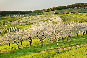 Cherry blossom in Obereggenen, Breisgau, Black Forest, Baden-Wurttemberg, Germany, Europe