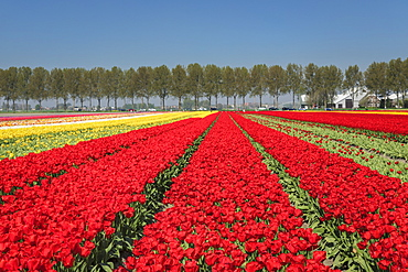 Field of tulips in spring, South Holland, Netherlands, Europe