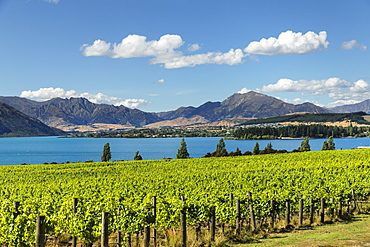 Vineyards at Lake Wanaka See in summer, Otago, South Island, New Zealand, Pacific