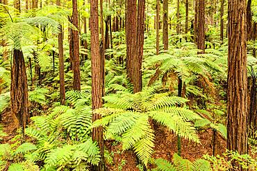 The Redwoods in Whakarewarewa Forest, Rotorua, Bay of Plenty, North Island, New Zealand, Pacific