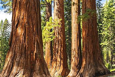 Giant Sequoia, Mariposa Grove, Yosemite National Park, California, USA,