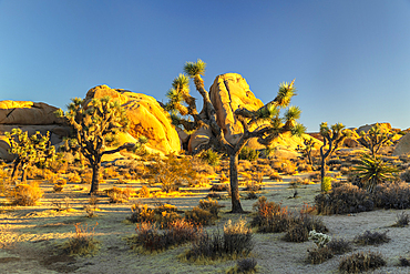 Joshua Tree (Yucca brevifolia), Joshua Tree National Park, Mojave Desert, California, USA