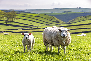 Sheep and lamb above Cressbrook Dale, typical spring landscape in the White Peak, Litton, Peak District, Derbyshire, England, United Kingdom, Europe
