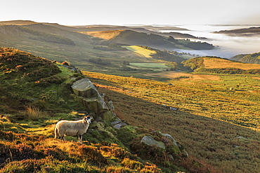 Sheep, valley with temperature inversion fog, Stanage Edge, Peak District National Park, autumn heather, Derbyshire, England, United Kingdom, Europe
