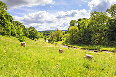 Cows grazing in lush riverside meadow in spring, Bradford Dale, Youlgreave, Peak District National Park, Derbyshire, England, United Kingdom, Europe
