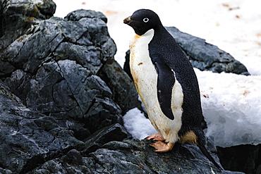 Adelie Penguin (Pygoscelis adeliae), Torgersen Island, near Palmer Station, off Anvers Island, Antarctic Peninsula, Antarctica, Polar Regions