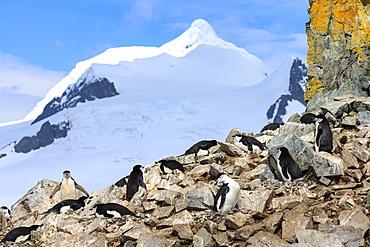 Chinstrap penguin colony (Pygoscelis antarcticus), craggy rock with lichen, Half Moon Island, South Shetland Islands, Antarctica, Polar Regions