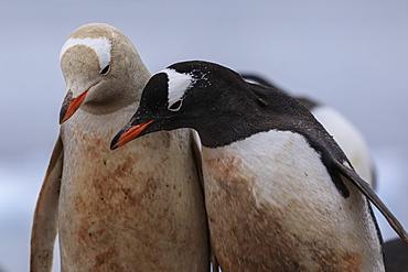 Rare leucistic gentoo penguin (Pygoscelis papua) contrasts with another gentoo, Waterboat Point, Paradise Bay, Antarctica, Polar Regions