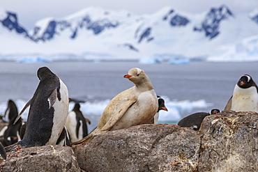 Rare leucistic gentoo penguin (Pygoscelis papua) in a colony, Gonzalez Videla Station, Waterboat Point, Paradise Bay, Antarctica, Polar Regions