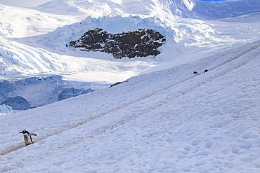 Gentoo penguins (Pygoscelis papua) use a penguin highway, Neko Harbour, Anvord Bay, Antarctic Peninsula mainland, Antarctica, Polar Regions