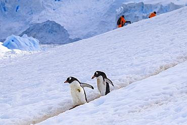 Gentoo penguins (Pygoscelis papua) use a penguin highway, visitors use their own, Neko Harbour, Antarctic Peninsula, Antarctica, Polar Regions