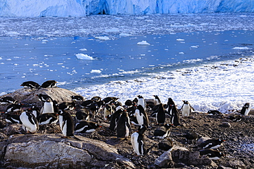 Gentoo penguin (Pygoscelis papua) colony above icy Neko Harbour, early morning, Graham Land, Antarctic Continent, Antarctica, Polar Regions