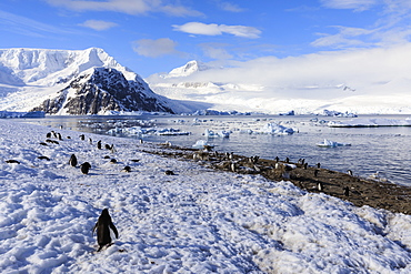 Gentoo penguins (Pygoscelis papua) and stunning scenery, early morning sun and mist, Neko Harbour, Graham Land, Antarctica, Polar Regions