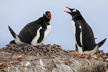 Gentoo penguin (Pygoscelis papua) pair communicating, Damoy Point, Dorian Bay, Wiencke Island, Antarctic Peninsula, Antarctica, Polar Regions